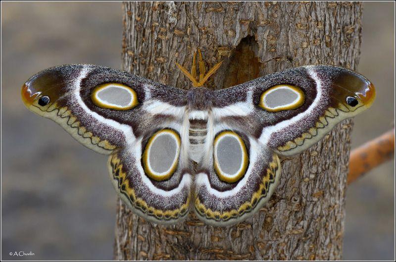 бабочка,павлиноглазка,глазастая Глазастаяphoto preview