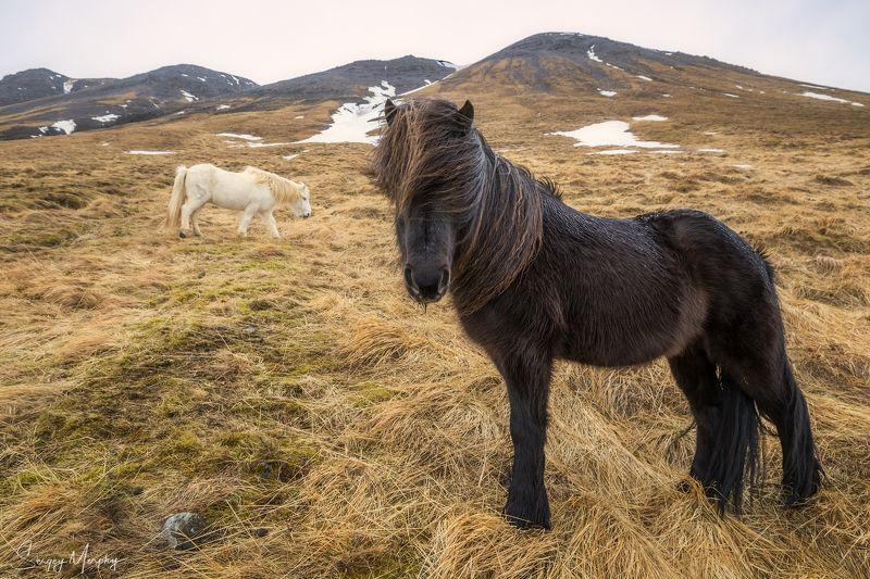 icelandic horses Rainy morning portrait. Icelandic horses.photo preview