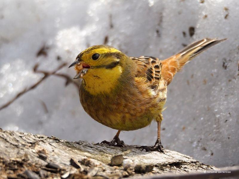 овсянка, обыкновенная овсянка, emberiza citrinella, птицы,  природа Овсянки прилетелиphoto preview
