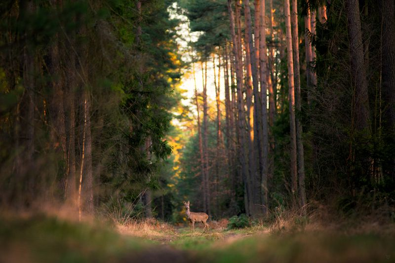 roedeer,forest,wildlife The forest around usphoto preview