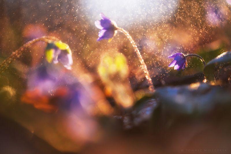 softness, flowers, forest, rain, sunrise, sunset, flowers, bokeh, light, drops, shadows, poland, spring Into the rainphoto preview