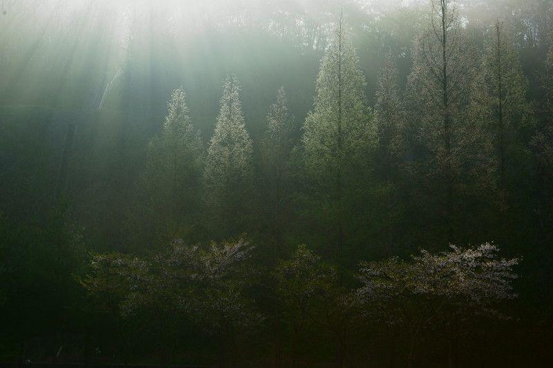 korea,spring,fog,sunlight,cherry blossom, Fog and lightphoto preview