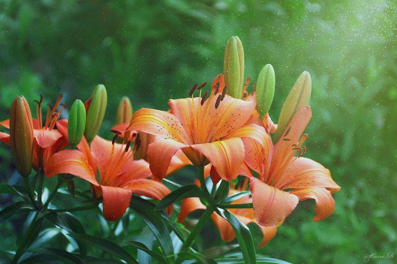 лилии, оранжевые, солнечные, яркие Солнечные лилииphoto preview