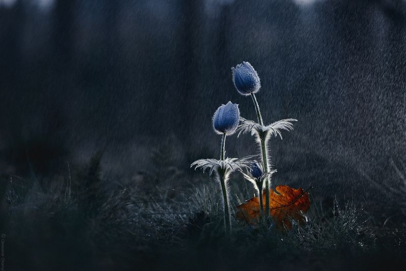 украина, коростышев, весна, природа, лес, сон трава, прострел, красота, макро, макро мир, макро красота, макро истории, \