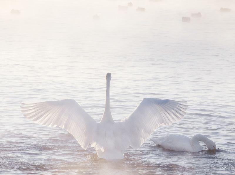 ...Лебединые крылья...photo preview