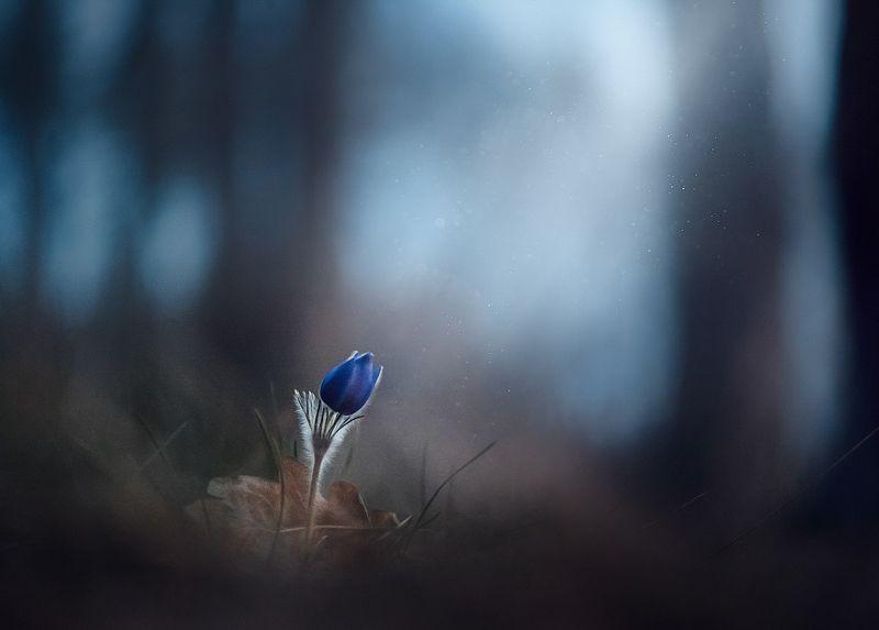 украина, коростышев, весна, лес, красота, макро, макро мир, природа, макро-красота, сон трава, прострел, Трепет жизниphoto preview