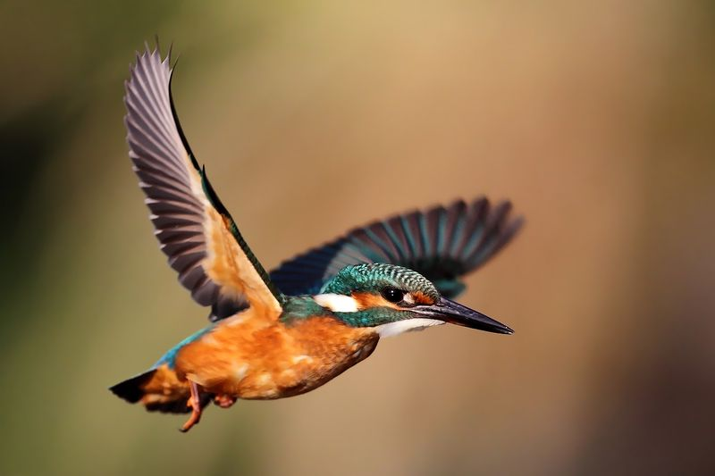 wilidfe, birds in flight, kingfisher, alcedo Kingfisherphoto preview