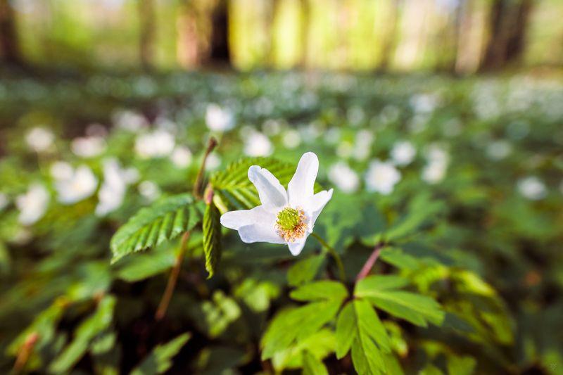 Anemone nemorosa, flora, wildlife Anemone nemorosaphoto preview