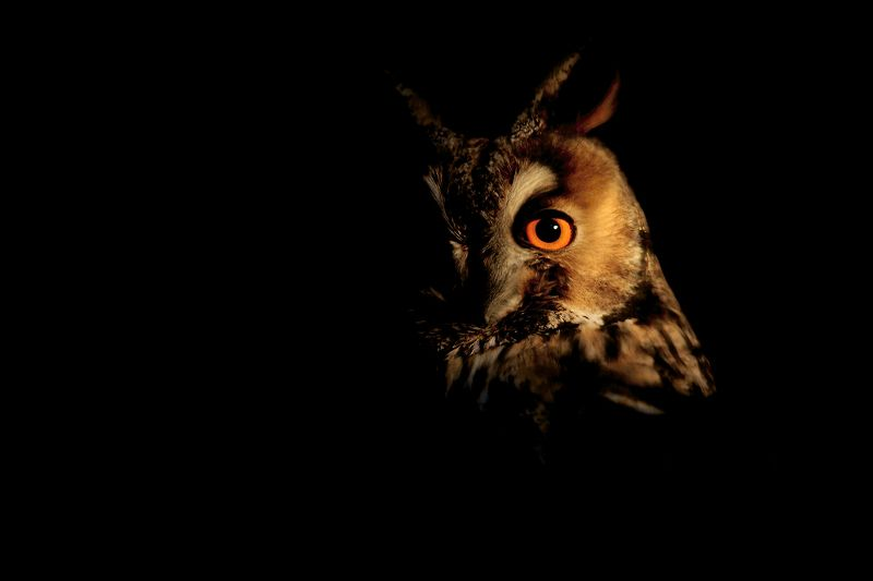 owl, birds, wildlife Long-eared owlphoto preview