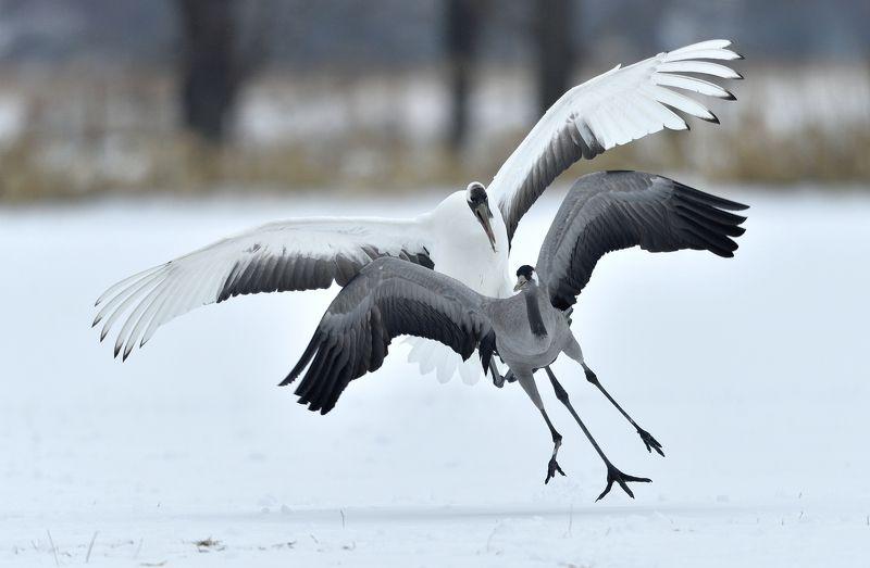 japanese vs eurasian, japanese crane, eurasian crane, nature, wild, bird, animal, crane, grus, red-crowned Japanese vs eurasianphoto preview