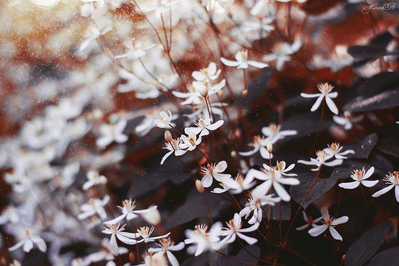 клематис, черные листья, капли, волшебство, природа Magical Clematisphoto preview