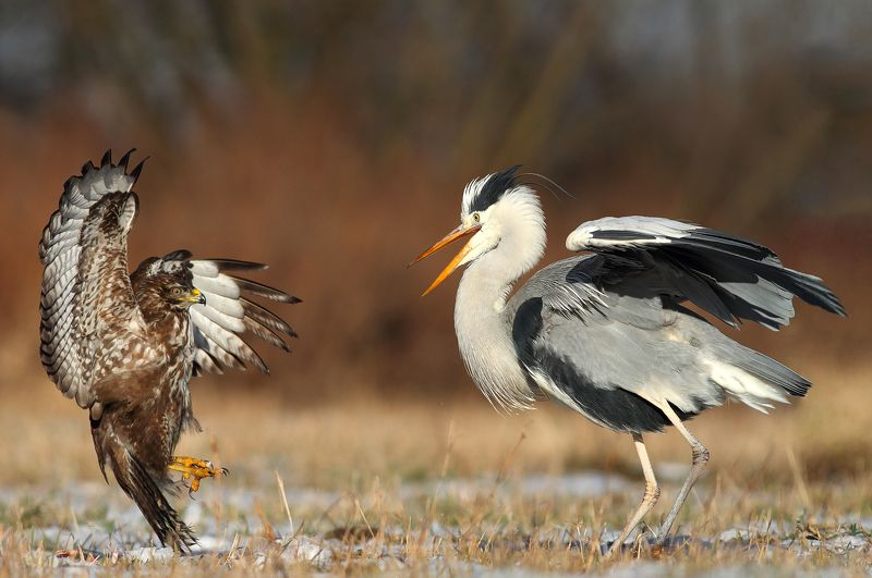 buzzard, hawk, heron, wildlife, birds, poland Claws VS Beakphoto preview