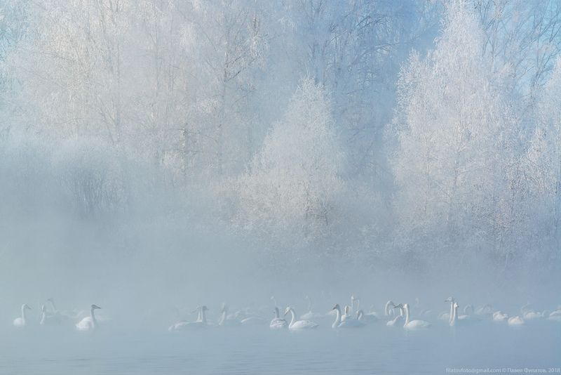 алтай, сибирь, лебеди, зима, мороз, стужа, светлое, лебединое, иней, туман Ангелы стужиphoto preview