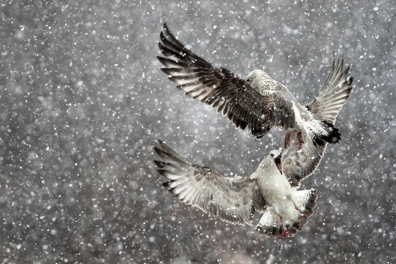 Seagulls in a blizzardphoto preview