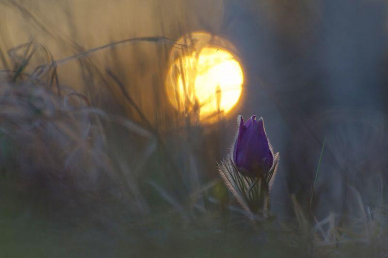 прострел, сон - трава, вечер Такие сны так редки...photo preview