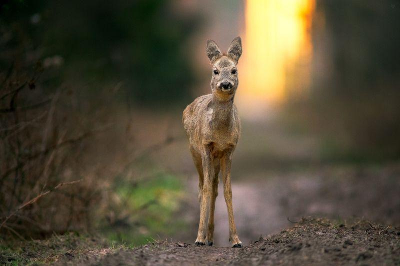animal, wildlife, roe-deer Forest rangerphoto preview