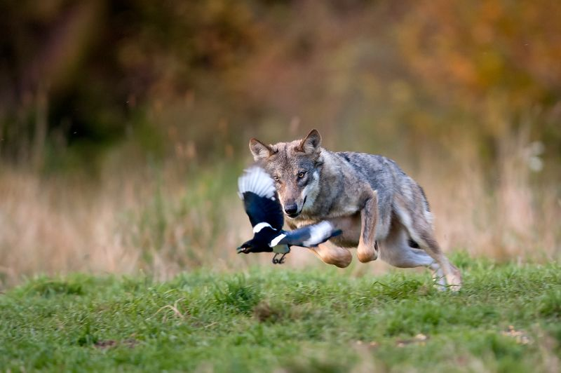 wolf, magpie, wildlife, animals, Wolf chasing magpiephoto preview