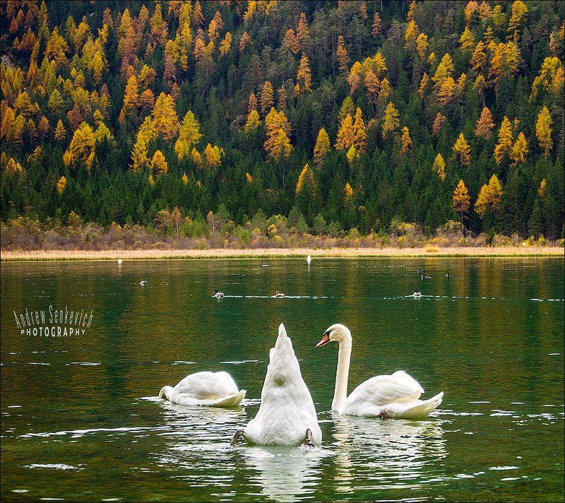 птицы, лебеди, озеро, доломиты, осень Лебединое трио :)photo preview