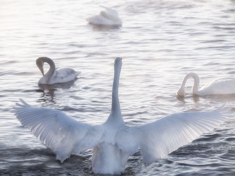 ...Лебединые крылья...2photo preview