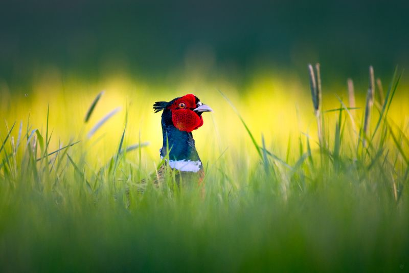 common pheasant, Phasianus colchicus, wildlife, bird Flower birdphoto preview