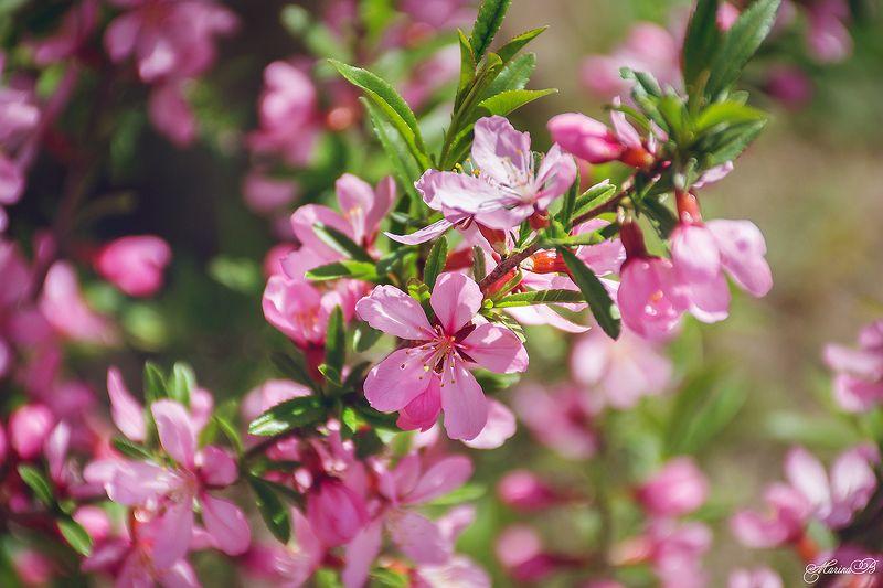 весна, весенний цветок, розовый цветок, миндаль Цветёт миндальphoto preview