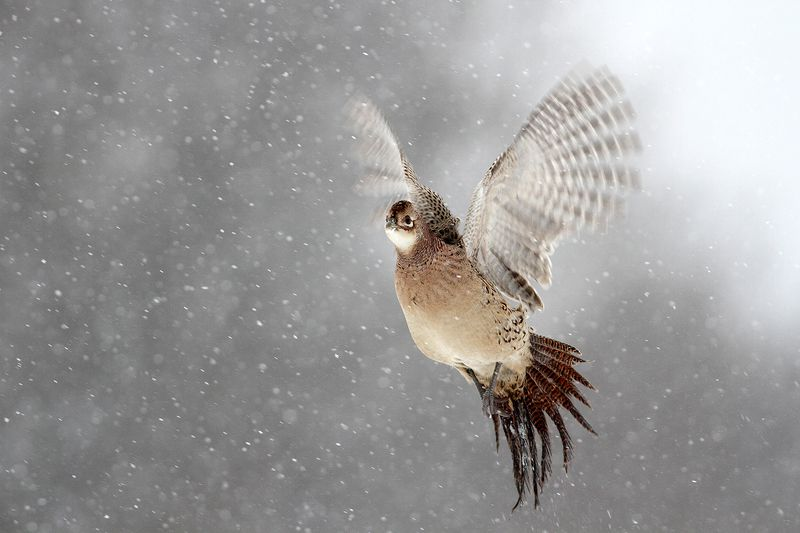 bird, pheasant, wildlife, snow, winter, cold Pheasantphoto preview
