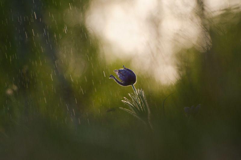 сон - трава, прострел, природа, цветы Пройдут кратковременныеphoto preview