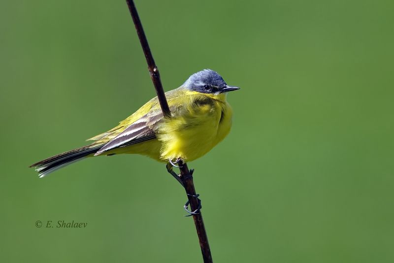 birds,motacilla flava,western yellow wagtail,жёлтая трясогузка,птица,птицы,трясогузка,фотоохота Жёлтая трясогузкаphoto preview