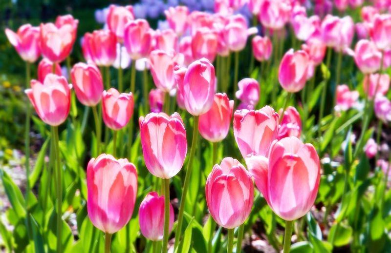цветы, весна, тюльпаны, яблони Солнечный свет весныphoto preview