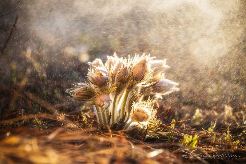 прострел, сон трава, первоцвет, подснежник, цветы, весна, урал, средний урал Прострел желтеющийphoto preview
