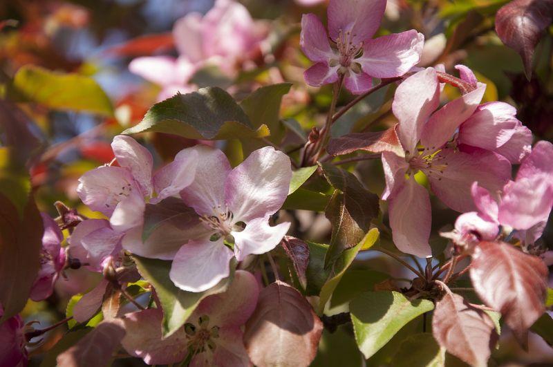 цветение, весна, солнце, природа, яблоня, цветы, россия, Расцветали яблони в садуphoto preview