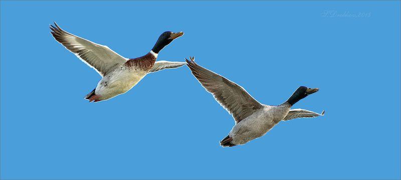 утки, полёт, животные, фауна Взявшись за рукиphoto preview