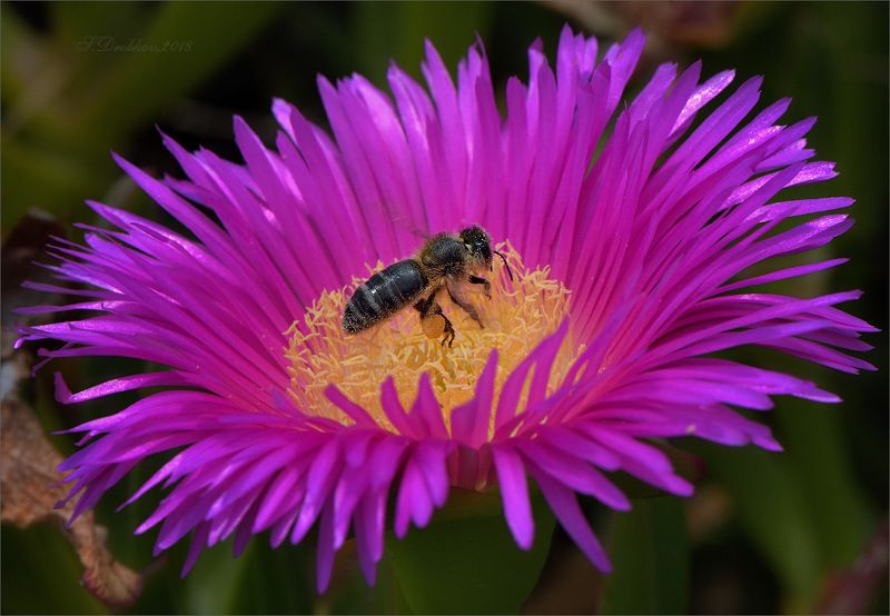 пчела, цветы, весна, макро Фиолетовая корона солнцаphoto preview