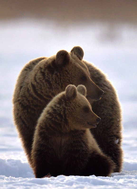 brown bears photo preview