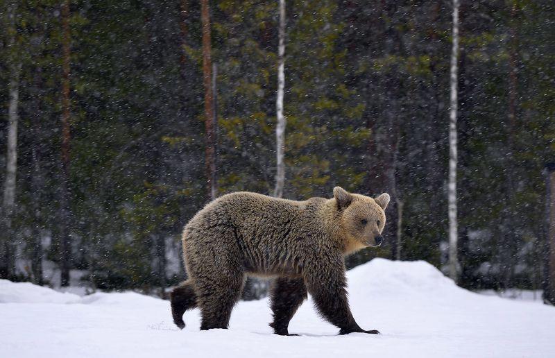 snowfall, brown bear, animal photo preview