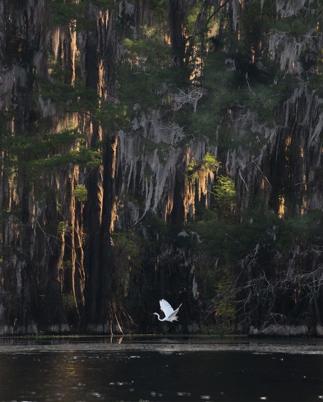 louisiana, texas, swamps, new orleans, white heron, great blue heron Louisiana / Texas Swamps.photo preview