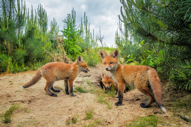 red fox, pups, puppies, animals, wildlife Red fox pupsphoto preview