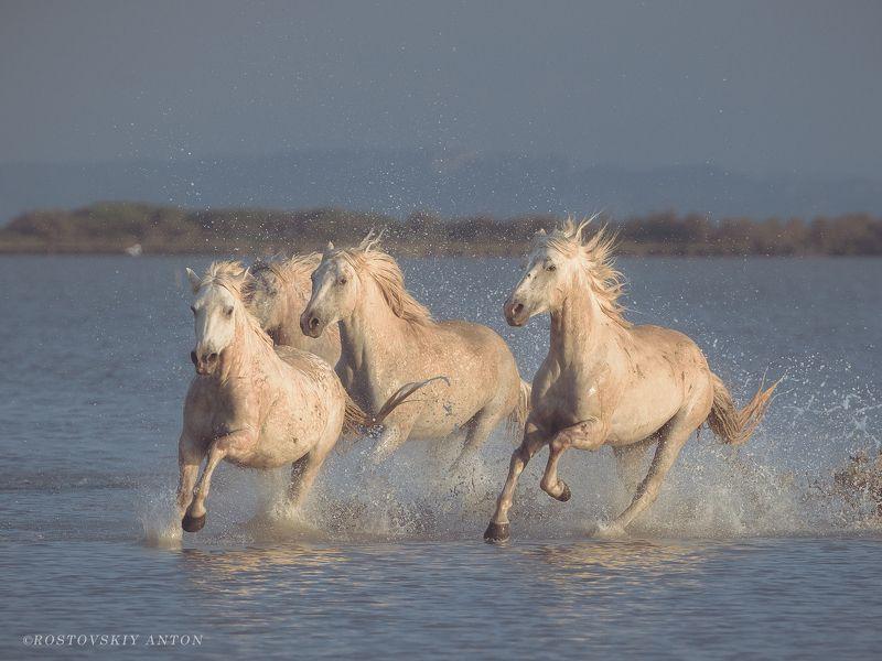 Камарг, конь, жеребцы, Франция, бег, Camargue, France, Horse, Камаргские жеребцы (фототур в Камарг)photo preview