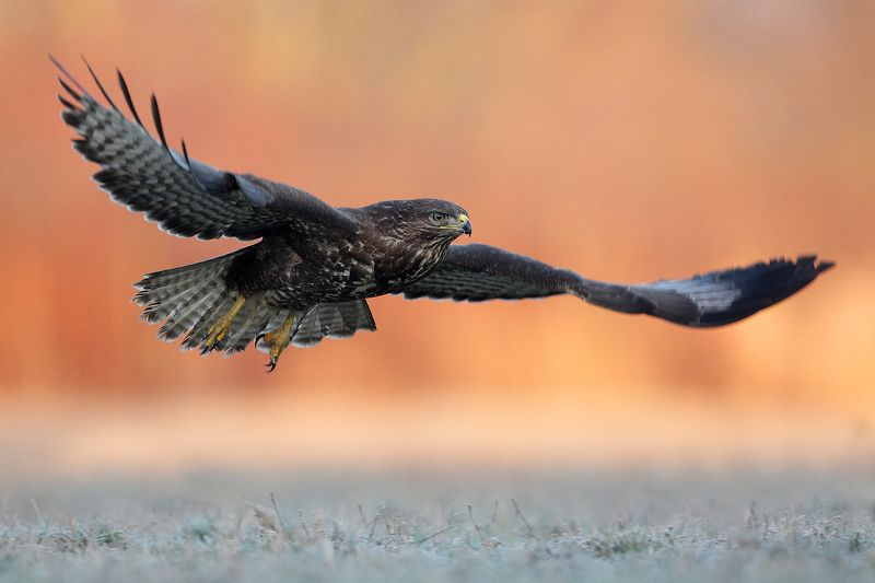 buzzard, hawk, heron, wildlife, birds, poland Common buzzardphoto preview