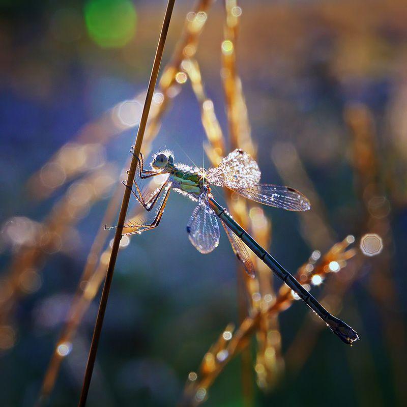 стрекоза, насекомое, утро, макро, природа, роса, боке Утренняя звездаphoto preview