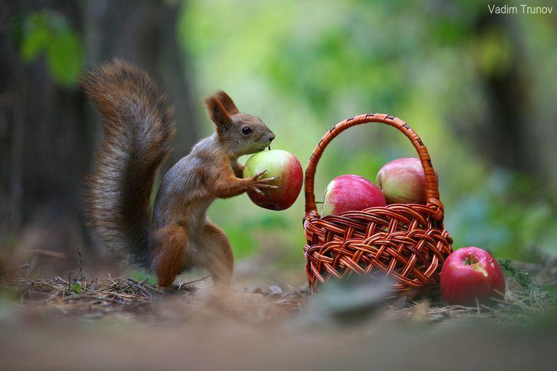 Белки и яблокиphoto preview
