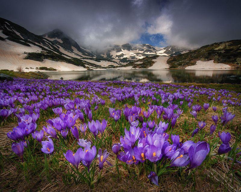 болгария Крокусы в горахphoto preview
