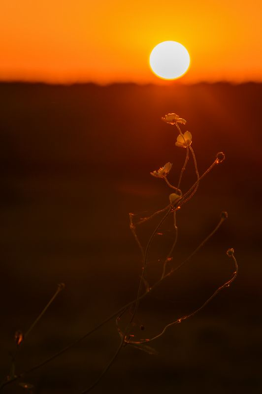 закат,лютик,вечер,солнце,цветы,макро,россия photo preview