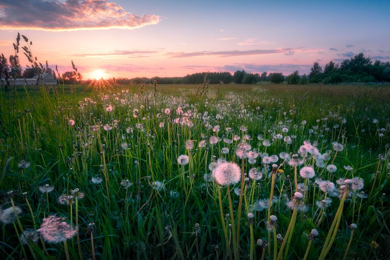 dandelions flowers sunset sky clouds colors mood poland podlasie The lightness of being a dandelion...photo preview