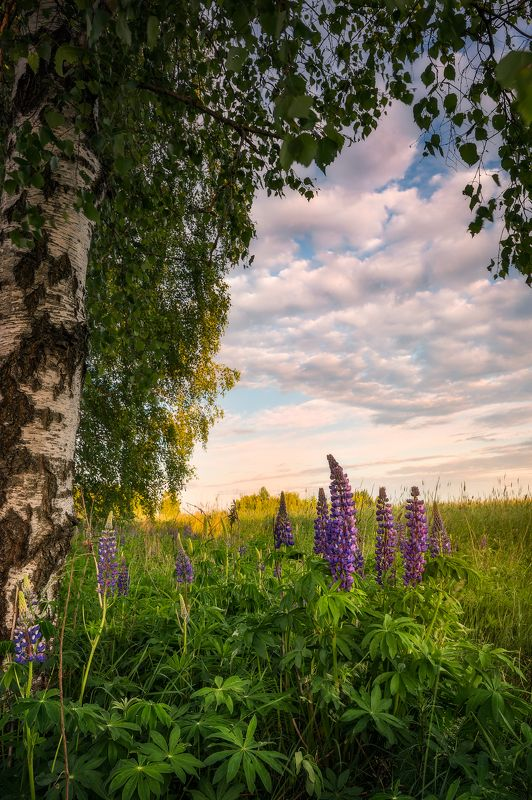poland podlasie sky clouds woods flowers lupine sunset trees birch outdoor wildflower spring Mr Lupine...photo preview