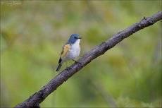Синехвостка
