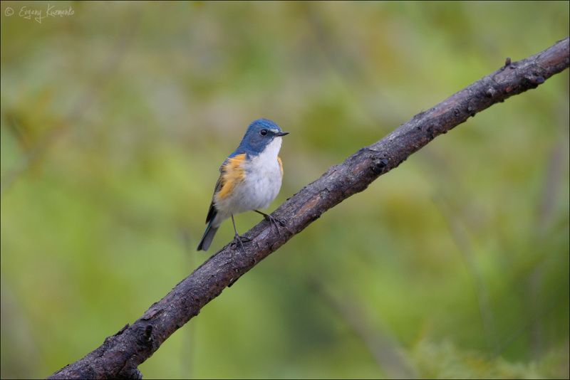 сахалин, птицы сахалина, синехвостка Синехвосткаphoto preview