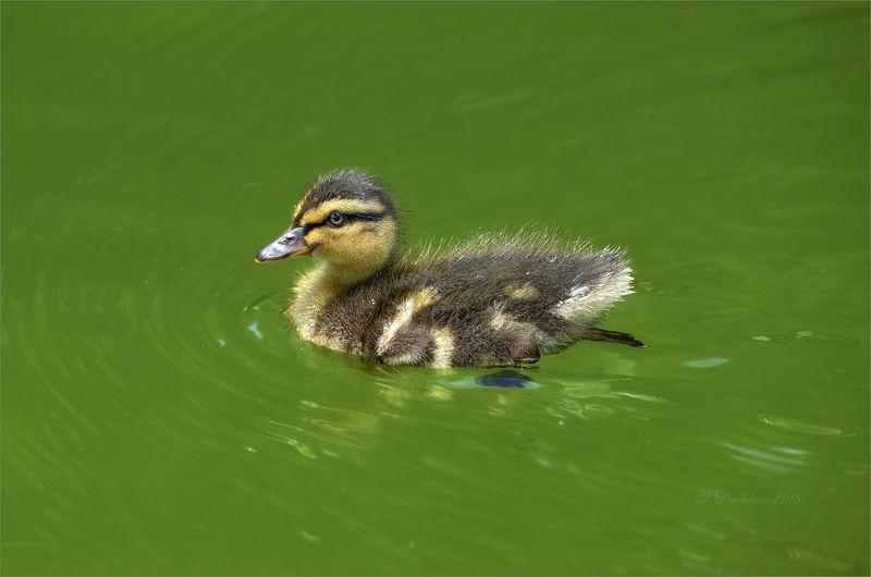 утки, животные, фауна, вода, зелёный Зелёная водаphoto preview
