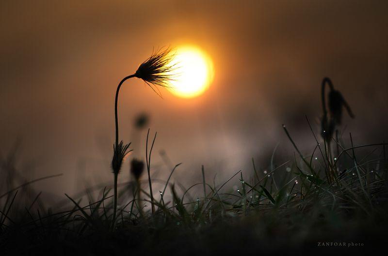 pulsatilla grandis,бархатный цвет,окзакат,пейзаж,природа,цвет,zanfoar,макро,чешская республика,czech ,republic,nikon d7000,twin, Pulsatilla Grandis, лампы природныеphoto preview