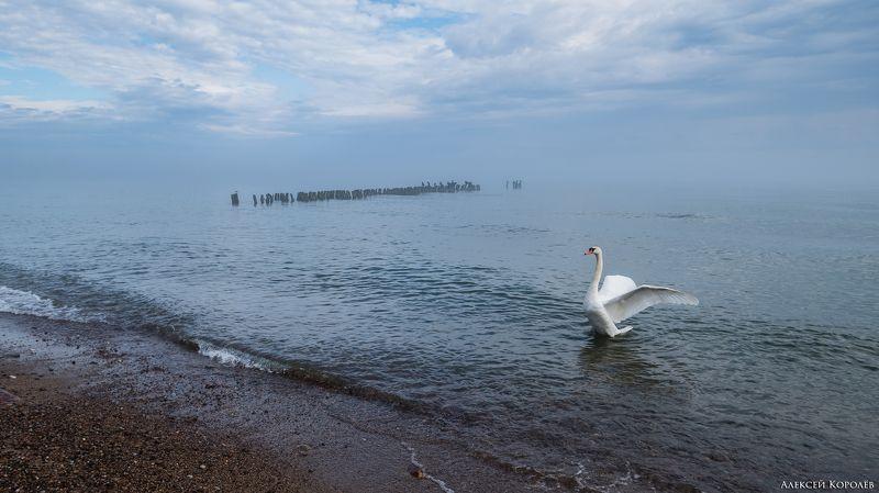 светлогорск, калининградская область, россия, балтийское море, пляж, утро, туман, море, природа, пейзаж, птица, лебедь, svetlogorsk, kaliningrad region, russia, baltic sea, beach, morning, fog, sea, nature, landscape, bird, swan Балтийское утроphoto preview